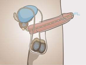 2. Erect penis seen from inside, showing how semen can leave the male body